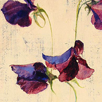 Lathyrus paars